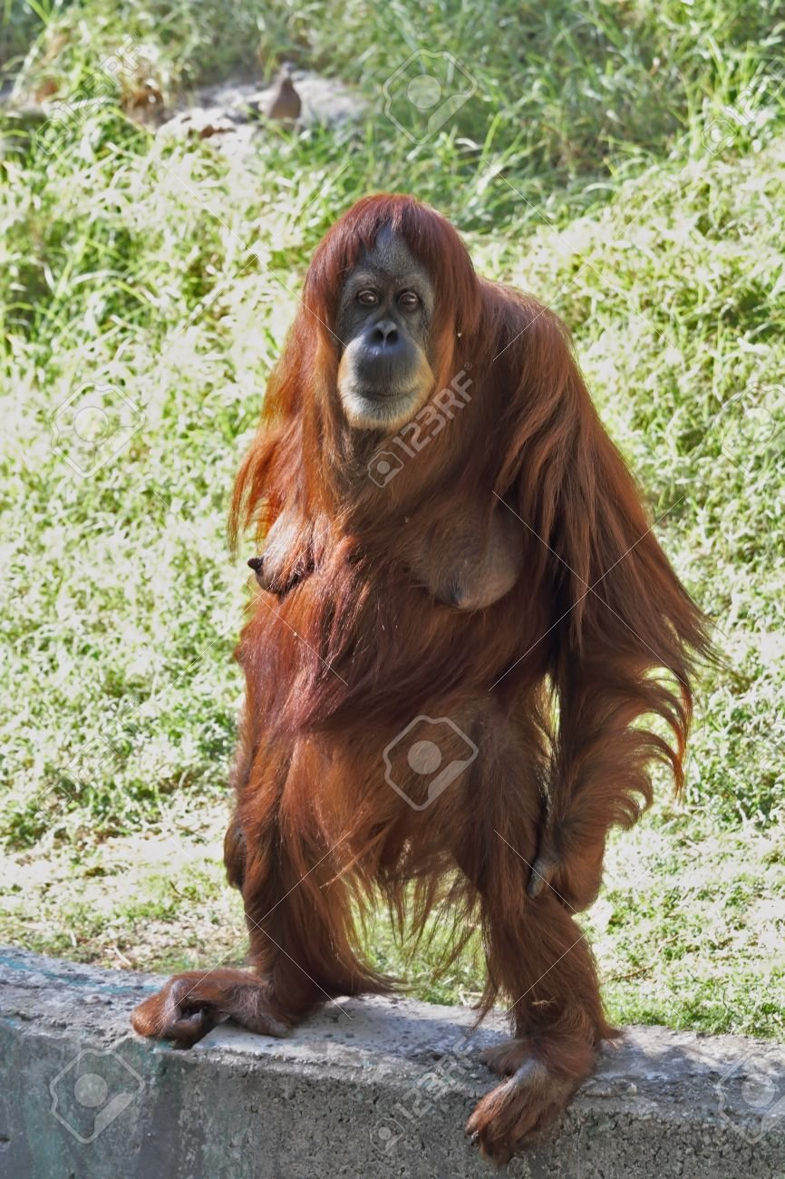 26405355-a-female-orangutan-standing-stares-at-the-audience.jpg