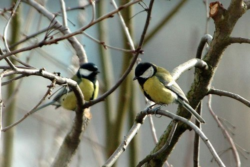 Britain-s-Great-Tits-Now-Threatened-by-Foreign-Strain-of-Avian-Pox-2.jpg