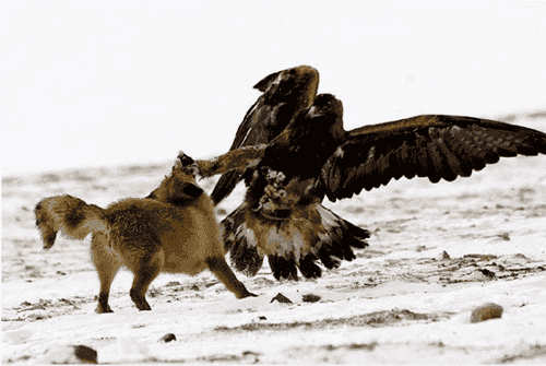 karate_bird-fox-eagle.png