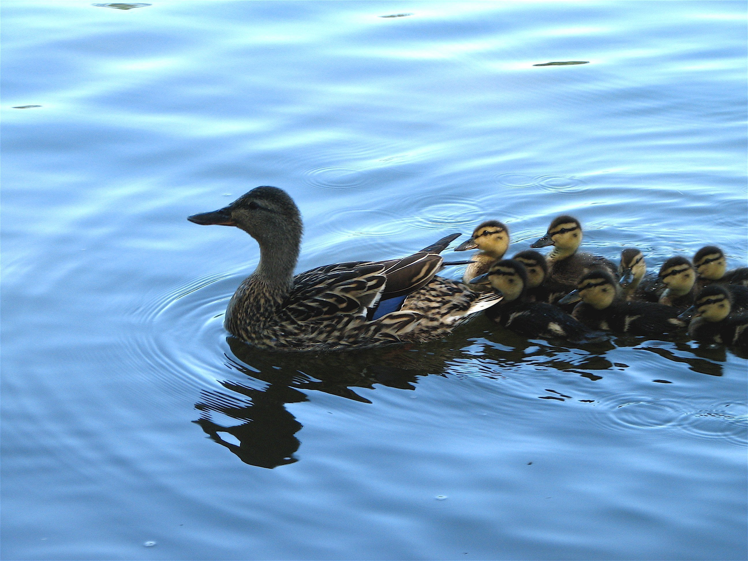 Mother_and_baby_ducks.JPG