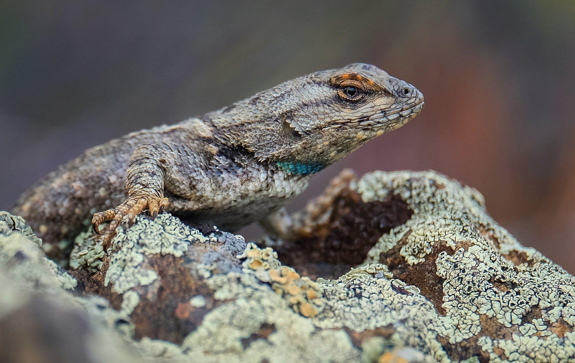 Praire Lizard.jpg