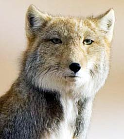 tibetan-fox-square-head.jpg