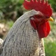 Chicken0895