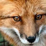 RedSoloFox